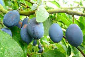 टॉप 101 फलो के नाम  इंग्लिश और हिन्दी में Fruits Name In Hindi and English With Picture  Step 29